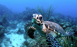 Ocean Conservancy Sea Turtle